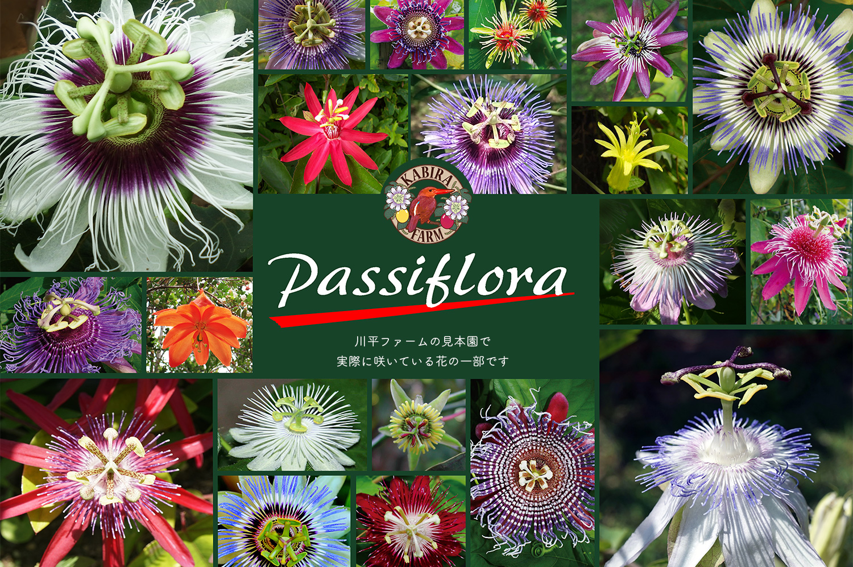 passiflora02